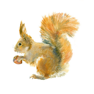 Watercolor red squirrel with nut