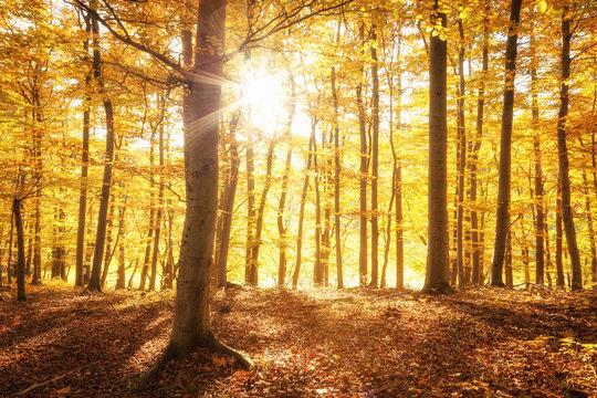 Sonnenschein im goldenen Herbst, Wald