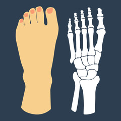 The flat design of the foot and the foot skeleton. Vector