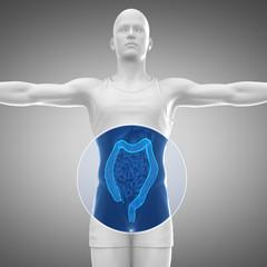 Male anatomy concept COLON