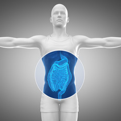 Male anatomy concept Digestive system
