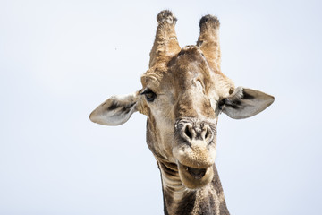 Giraffe Portrait - Up close and personal