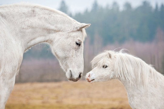 Portrait of white horse and white shetland pony
