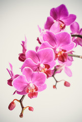 Printed roller blinds Orchid Beautiful pinky purple orchid flowers cluster isolated on white background, the pantone color of the year 2014, Radiant Orchid 18-3224 colored