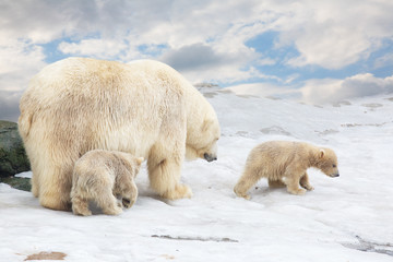 white polar she-bear with two bear cubs goes on snow
