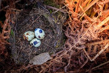 Three quail eggs on a hay nest