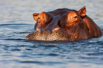adult male Hippopotamus, Hippopotamus amphibius
