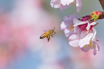 Cherry Blossom and Honeybee