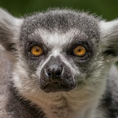 Portrait of a Lemur at closeup
