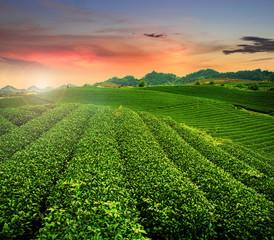 Tea hills in sunset, Son La province in Vietnam