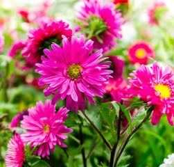 daisy flowers, beauty flowers