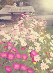 meadow flowers Cosmos