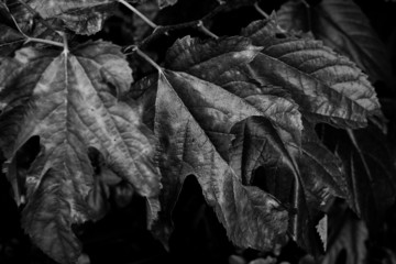 Dry leaf, black and white edition