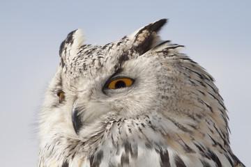 Foto auf Leinwand Eule great horned owl
