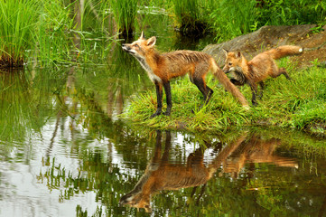 Two Red Fox create water reflections in a pond.