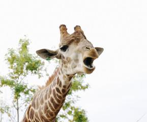 Portrait of roaring giraffe,  Safari Park Taigan, Crimea.