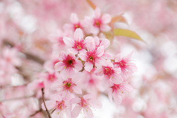 Beautiful pink colour cherry blossom