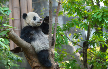 Cute panda bear sitting in tree
