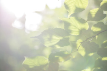 Blurry Green Leaves Illuminated by Sunlight