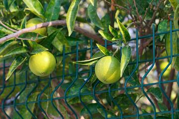 Fresh green oranges on tree. Green oranges on tree.