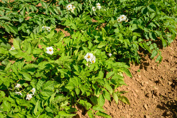 Potatoes plants and flowers