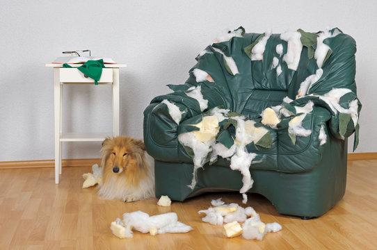 Hund versteckt sich hinter Ledersessel