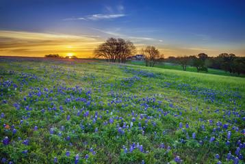 Texas bluebonnet field at sunrise