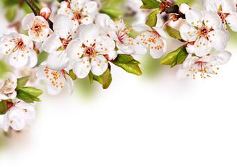 Obraz Wiosenne kwiaty na białym tle - fototapety do salonu