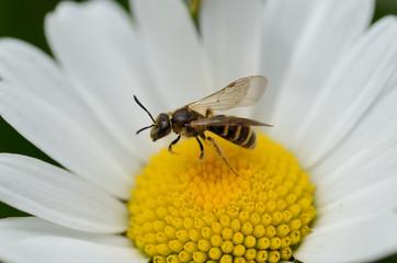 fiore con api ape