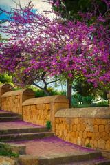 Blooming Judas tree with falling flowers