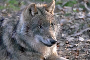 Wolf im Wildpark Tambach