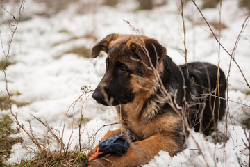 Young german shepard dog playing in the snow