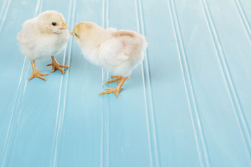 Two baby chicks on a blue background