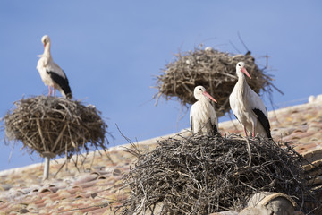 Storks in San Miguel Collegiate Church, Alfaro (Spain)