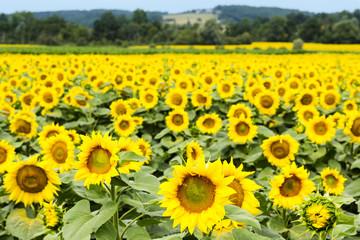 Sunflower oil crop and rural landscape