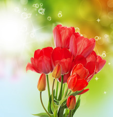 Beautiful  fresh  garden tulips on abstract spring nature backgr