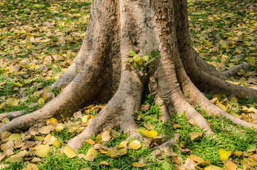 The roots of the banyan tree.