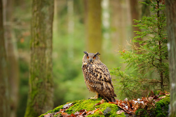 Wall Mural - Eurasian eagle-owl in forrest