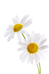 The beautiful daisy isolated on white