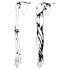 Arm bones and muscle - Vector illustration of human skeleton
