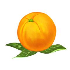 fruit orange Vector illustration  hand drawn  painted