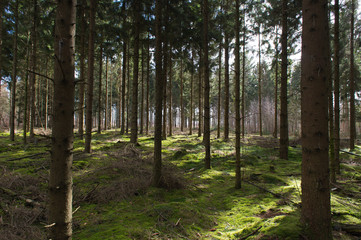 Fir trees in forest
