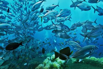 Asien, Indonesien, Bali, Schulstachelmakrelen (Stachelmakrelen)