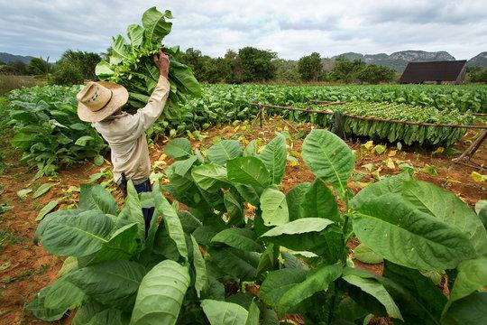 Tobacco farmers collect tobacco leaves