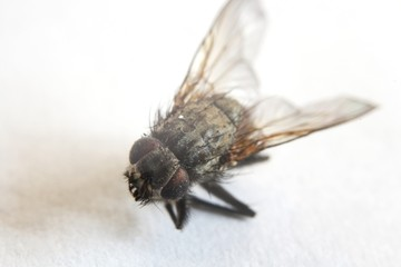 Macro shot of a dead fly, killed by bug spray