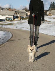 Walk with long hair chihuahua on a leash in snow land