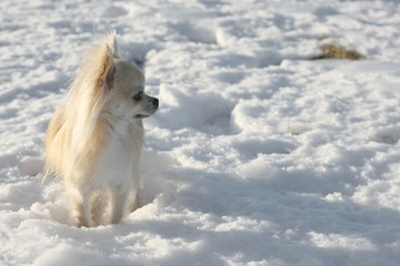 Walk with long hair chihuahua in snow landscape