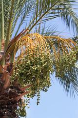 Unripe dates on date palm tree