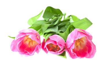 Beautiful Pink Tulip. Isolated