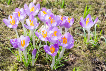 Spring crocuses flowers on sunshine meadow